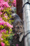 Brown cat is walking in the garden Royalty Free Stock Photo
