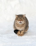 Brown cat on the white snow Stock Images