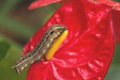 Brown caterpillar Royalty Free Stock Images