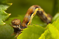 Brown caterpillar Royalty Free Stock Photo