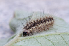 Brown caterpillar on green leaf Stock Photos