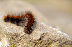 Brown caterpillar on a rock. Big brown hairy caterpillar sleeping on a rock Stock Photo