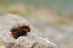 Brown caterpillar on a rock. Big brown hairy caterpillar sleeping on a rock Royalty Free Stock Images