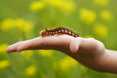 Brown caterpillar sitting on a hand Royalty Free Stock Photography