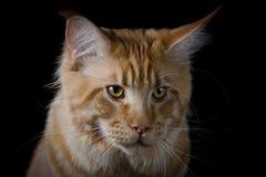 Brown cats head portrait Stock Image
