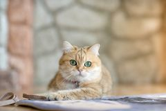 Brown cats sit happily on the floor in the room.White four-legged animal.Cute mammals.Pets in the house.Inside the house that is c stock photography
