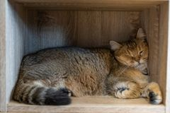 Brown cats sleep in the wood cabinets in the room stock photos