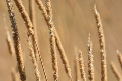 Brown Cattail Grass Closeup Royalty Free Stock Images