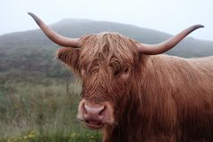 Brown Cattle Stock Photos