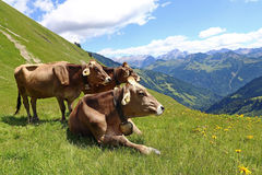 Brown cattle enjoy the summer in the mountains Royalty Free Stock Photography