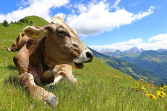 Brown cattle enjoy the summer in the mountains Stock Photography