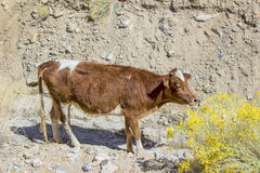 Brown cattle grazes in the mountains Stock Photo
