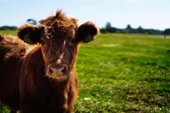 Brown Cattle on Green Lawn Grass during Daytime royalty free stock photography