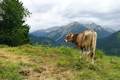 Brown cattle with horns in the mountains Royalty Free Stock Photography