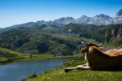 Brown Cattle Lying on Grass Field Watching Body of Water Surrounded by Mountains Stock Images