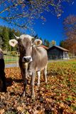 Brown cattle in Allgäu. Brown cattle, a regional breed of cattle, on a meadow near Pfronten in Allgäu, Bavaria, Germany Royalty Free Stock Images