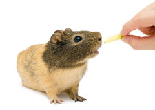 Brown cavy, Guinea pig. Cavy (Cavia porcellus) eating cucumber, Guinea pig, over white Stock Photography