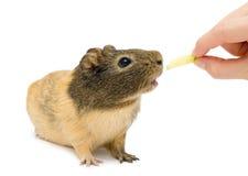 Brown cavy, królik doświadczalny Fotografia Stock