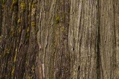 Brown Cedar Bark Close para arriba Fotografía de archivo libre de regalías