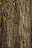 Brown Cedar Bark Close su Fotografie Stock