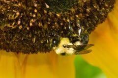 Brown-ceinturé gaffez l'abeille - griseocollis de Bombus photographie stock