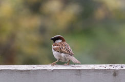 Brown cenary ptak Obrazy Stock