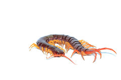 Brown centipede Royalty Free Stock Images