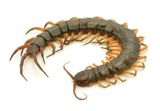 Brown centipede Royalty Free Stock Image