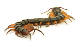 Brown centipede Stock Photo