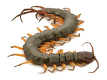 Brown centipede Stock Photography