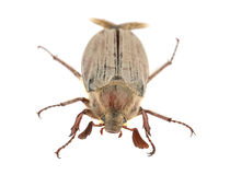 Brown chafer Royalty Free Stock Image