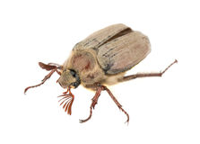 Brown chafer bug Royalty Free Stock Image