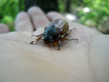 Brown chafer. On the palm. Melolontha melolontha Royalty Free Stock Photos