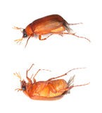 Brown chafer (Serica brunnea) Stock Photos