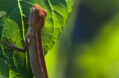 Brown-Chamäleon im Garten, Weichzeichnung Lizenzfreies Stockbild