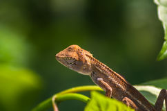 Brown chameleon in garden, soft focus Royalty Free Stock Photography