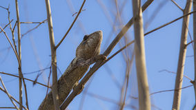 Brown Chameleon hiding on in Madagascar Royalty Free Stock Photography