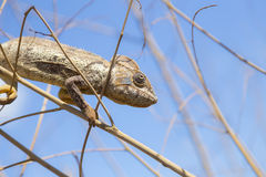 Brown Chameleon hiding on in Madagascar Stock Images