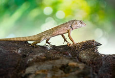 Brown chameleon Royalty Free Stock Photography