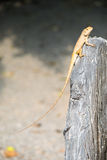 Brown chameleon on tree branch Royalty Free Stock Photos