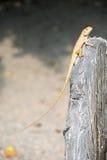 Brown chameleon on tree branch. Animal Royalty Free Stock Photos