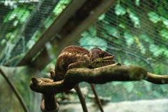 Brown chameleon Stock Photo