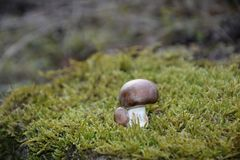 A brown champignon mushroom Agaricaceae on green Moss. In the nature stock photography