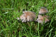 Brown, champignons blancs dans le jardin photographie stock libre de droits