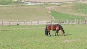 Brown che pasce cavallo sull'azienda agricola del cavallo al giorno di molla vicino al recinto video d archivio