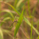Brown Cherry-Faced Meadowhawk Dragonfly Royalty Free Stock Image