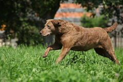 Chesapeake Bay Retriever running in garden Royalty Free Stock Photo