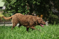 Chesapeake Bay Retriever running in garden Stock Photo
