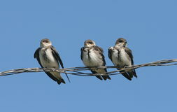 Brown-chested Martins, Progne tapera. Three baby birds, Brown-chested Martins, sit on a wire against bright blue sky,Colonial Pellegrini,Argentina Royalty Free Stock Image