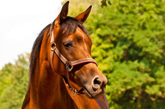 Brown - chestnut Arab horse portrait with copy space Royalty Free Stock Photography